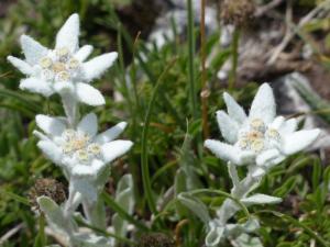 natur-edelweiss